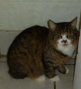 """Adult Female Cat - Maine Coon-Domestic Long Hair: """"C - 39 Sally"""""""