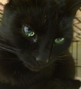 "Adult Male Cat - Domestic Short Hair-black: ""Molson"""