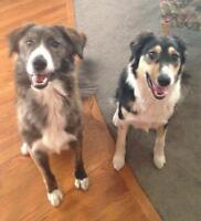 "Adult Male Dog - Collie: ""Bella & Bear"""