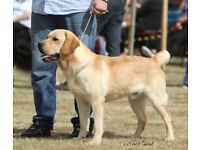 NOW SOLD Stunning Show Type Yellow Labrador Retriever Dog for Sale