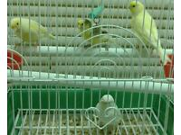 4 Canaries, cage and food for £40
