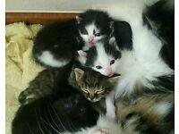 Half Turkish Angora Kittens