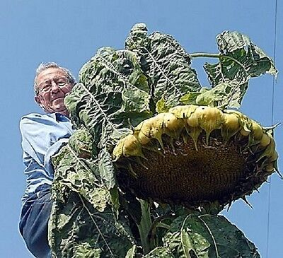 FLOWER GIANT SUNFLOWER MONGOLIAN GIANT  - 20 SEEDS