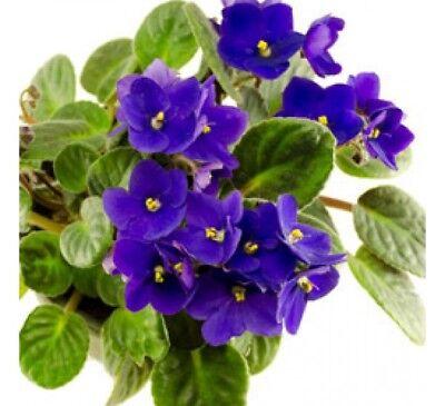 100 Seeds African Mini Violet Seed Beautiful Plant Bonsai Flower Garden Rare DIY