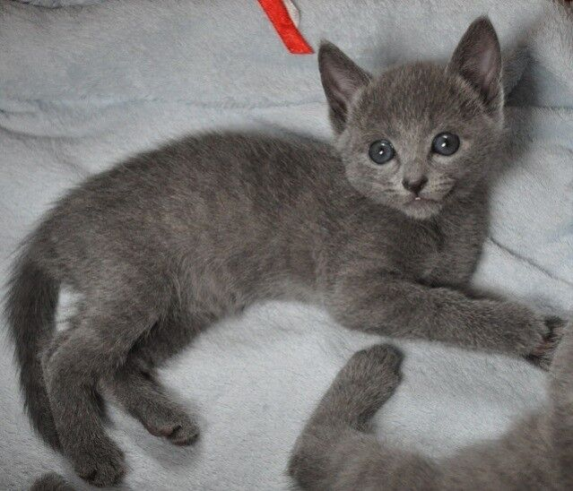 Beautiful Grey Kittens In Birstall West Yorkshire Gumtree