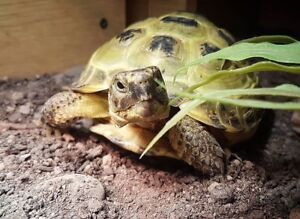 Tortoise Asian or Russian( land, Hypoallergenic, not smelly).