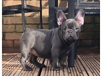 Stunning aa French bulldogs Sired by Warboy only aa Lilac dm free in uk aaddbbEekykynn