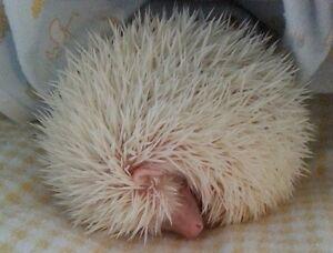 Female Albino Hedgehog 4-1/2 months old