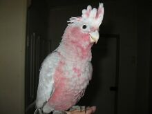 WANTED Baby Galahs Kallangur Pine Rivers Area Preview