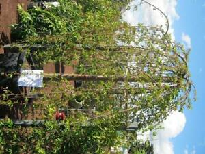 Weeping cherry trees. Bare root stock starting at $99.90 Heatherton Kingston Area Preview
