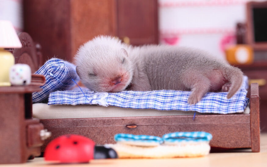 How to Care for a Baby Ferret