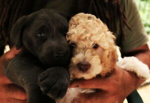 lab or labadoodle pups looking for wonderful homes