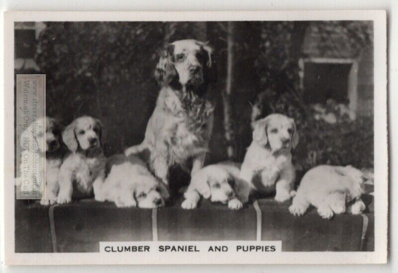 Clumber Spaniel And Puppies  Dog Canine Pet Animal 1930s Trade Ad Card