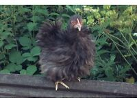 Chocolate frizzle pekin hen 14 weeks old