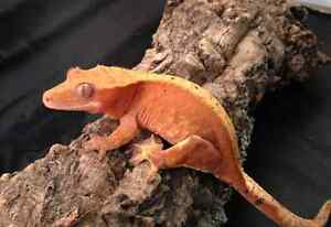 Searching for a female crested gecko