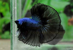 Black Orchid Bettas (Crowntails & Halfmoons)