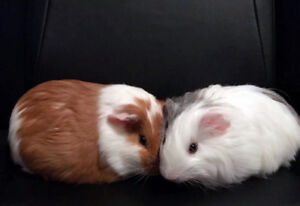 2 Guinea Pigs looking for a forever home