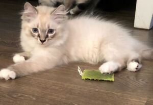 LYNX POINT PURE BRED RAGDOLL KITTENS