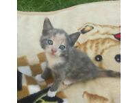 Grey and White Female Kitten