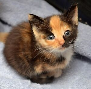 Looking for a Calico Kitten