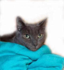 "Young Male Cat - Domestic Short Hair-gray: ""GREY GOOSE..."""