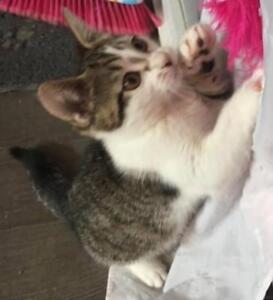 "Baby Female Cat - Domestic Short Hair: ""Charlotte"""