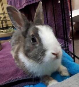 """Young Female Rabbit - Dwarf: """"Banana Bun"""""""
