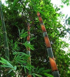 Dendrocalamus nonna estremamente rari in bamb gigante for Semi bambu gigante