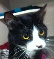 "Adult Female Cat - Domestic Short Hair: ""Patches"""
