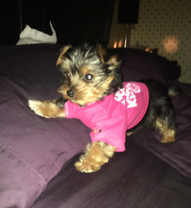 PUREBRED YORKIE FOR SALE