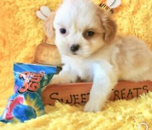 Teacup Puppies | Kijiji in Ontario  - Buy, Sell & Save with