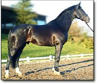 Breeding to warm blood Stallion Gatsby