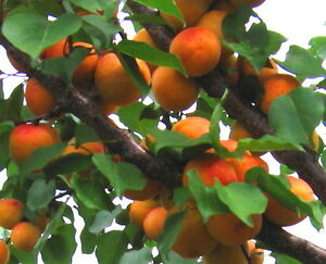 Apricot Bergeron Tree 4-5ft, Self-fertile Sweet & Tasty Orange Flesh