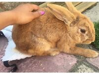 10 month rabbit boy for sale