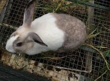 Female Rabbit Mulbring Cessnock Area Preview