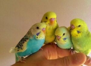 Baby hand tamed budgies
