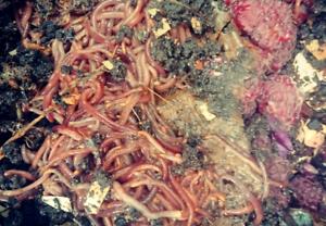 red wriggler compost worms - great fertiliser