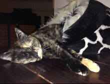 Missing tortishell female cat Cranbourne East Casey Area Preview