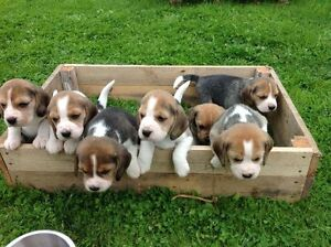 Looking for a Beagle Puppy!