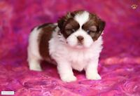 Looking For Purebred Shih Tzu