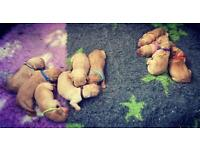 Fox red kc Labrador puppies