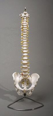 Spine Vertebral Column Flexible Model, Life-Size, Anatomical