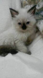 VERY CUTE RAGDOLL GIRL KITTENS Helensvale Gold Coast North Preview