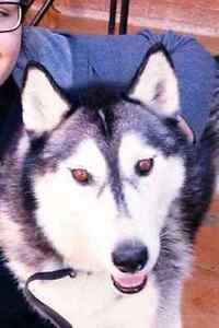 Female siberian husky Liverpool Liverpool Area Preview