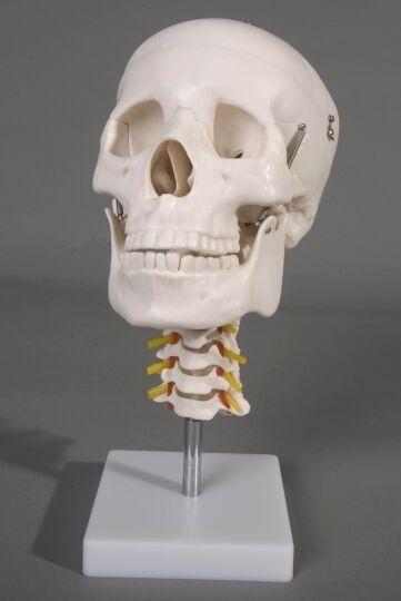 Human Skull with Cervical Spine, Skulls, NEW