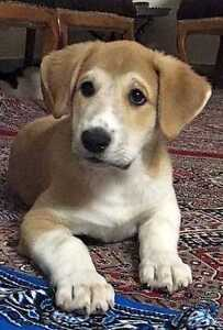 "Baby Female Dog - Australian Shepherd-Border Collie: ""LACEY"""
