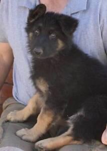 German Shepherd Puppies Lewiston Mallala Area Preview