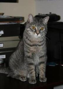 "Adult Female Cat - Domestic Short Hair: ""Kali"""