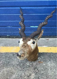 ANTIQUE TAXIDERMY SPIRAL HORNED ANTELOPE - ANTIQUE VINTAGE RETRO