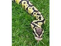 Ball python male - Firefly
